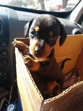 Cachorros salchichas hembras disponibles  y machos