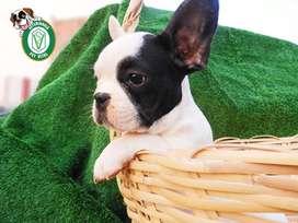 cachorros bulldog,siberianos,golden,shitzu,pug,labrador,pastor,bull terrier,sharpei,chihuahua en Pet Vital