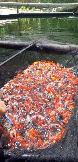 Venta de peces ornamentales al mayor