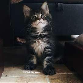 Gatos Maine Coon con pedigree