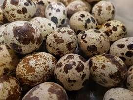 Huevos de Codorniz Aviquail x millar