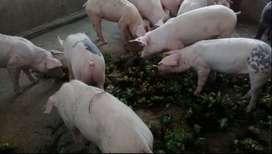 Cerdos de crianza organica en pie o faenado