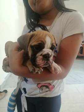 Bulldog inglés disponible