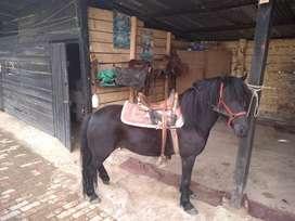 Vendo Hermosa Llegua Pony por Frison