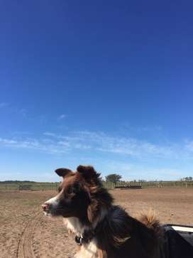 Servicio de monta border collie chocolate con papeles