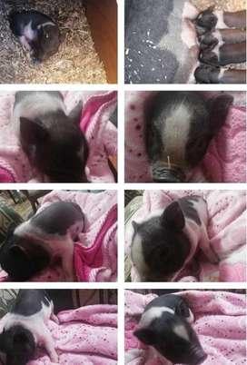 Disponibles MINI PIG