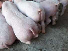 Cerdos Lechones destetados