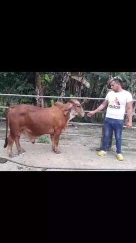 Vendo toro Gyr patua