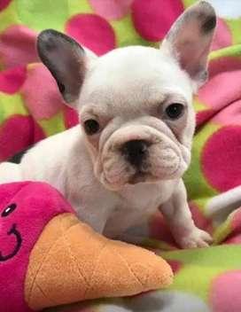 Frenchie de 8 semanas de edad en venta bulldog frances bogota