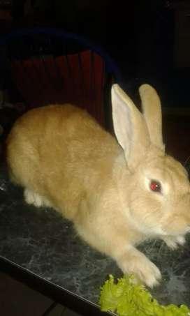 Conejo macho nueva selanda