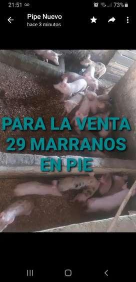 29 MARRANOS EN PIE, EN RIVERA
