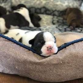 lindos y gordos cachorros de 49 dias entrega inmediata