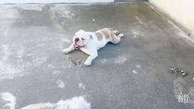 Bulldog ingles / Servicio de monta