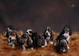 Bassed hound