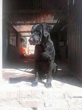 Servicio de Montada Labrador Negro