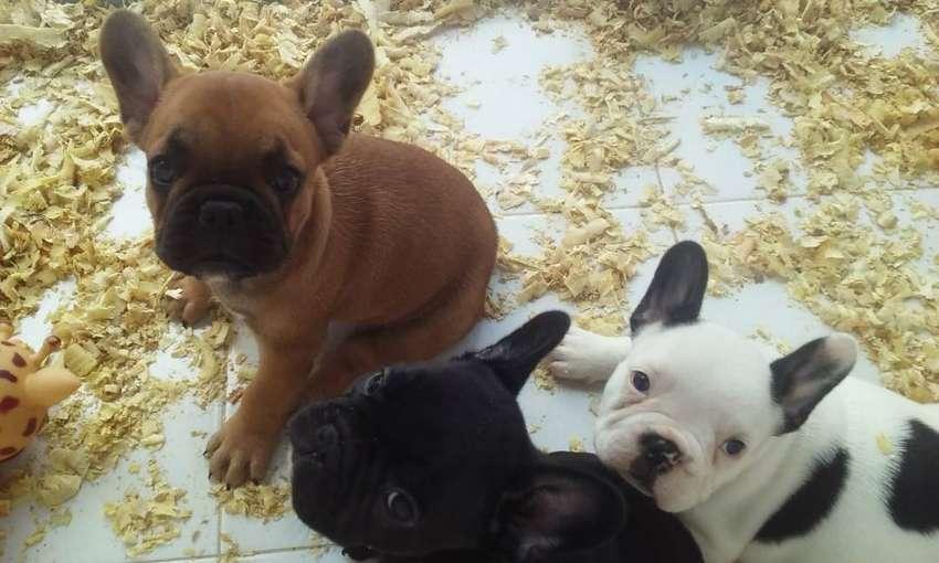 Cachorros Bulldog Francés 0