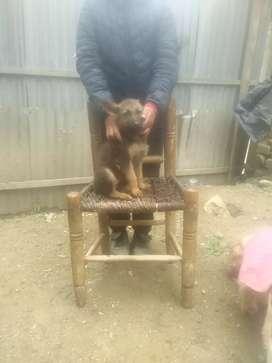 Vendo perrito pastor alemán