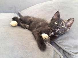 Gatita bebé Carey hermosa y muy juguetona adopción CABA o zona Norte