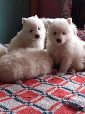 Divinos cachorritos Samoyedos