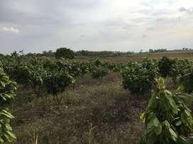 Hermosa finca produciendo Cacao