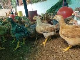 Pollos mejorado o peruano