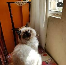 Gato Persa Himalaya busca Novia