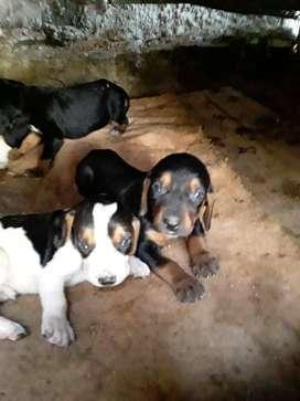 Perros bramadores a la venta