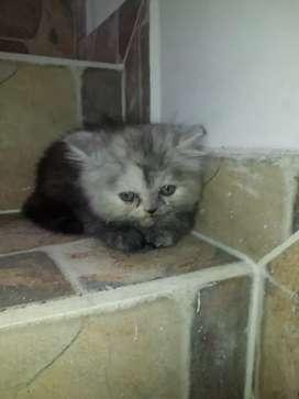 Vedo hermosa gatica persa de 2 meses