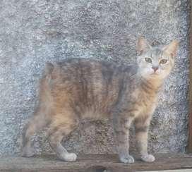 gatos manx. el gato sin cola