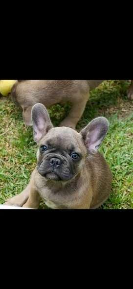 Hermos Bulldog Frances Exotico
