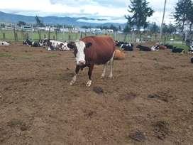 Vendo preciosas vacas