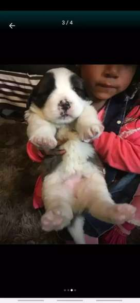 Venta de cachorro san bernardo
