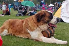perros san bernardo barriles para