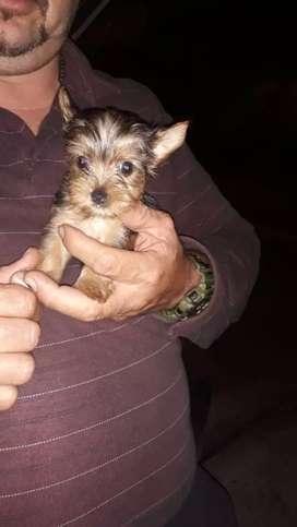 Yorkie Terrier macho