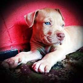 Hermosos Perros Pitbull