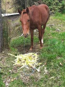 Sevende  caballo de 2 años