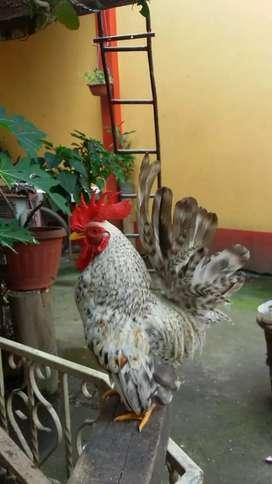 Gallos Gallinas y pollos enanos