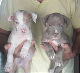 PITBULL COLORES EXOTICOS!!