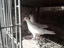 Vendo palomas blancas