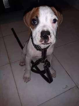 Se vende perro boxer motivo de viaje