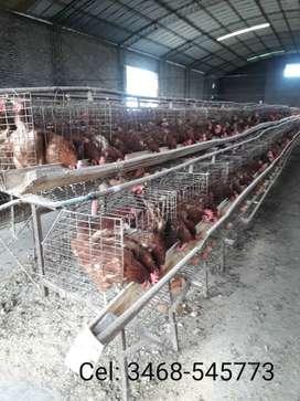 Vendo gallinas de 8 meses de posturas