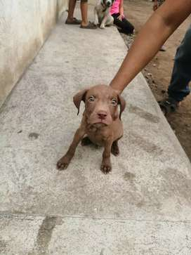 Cachorros american pitbull red nose