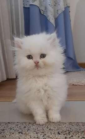 Gato persa himalayo