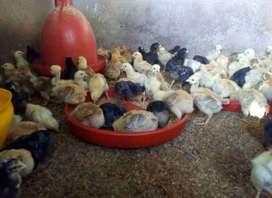 Venta de pollito criollo gigante de 15 a 20 dias de nacido