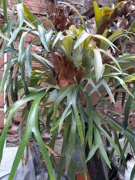 Vendo hermosa planta Cuerno de Alce, 15 años de antigüedad aprox.