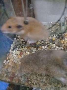 Hamsters sirios