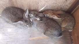 Vendo tres conejitas