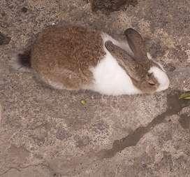 Se venden conejos y conejas de raza grande
