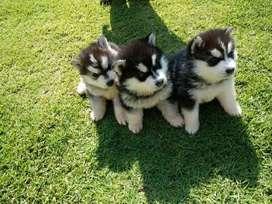 Hermosos cachorros alaska malamute venta