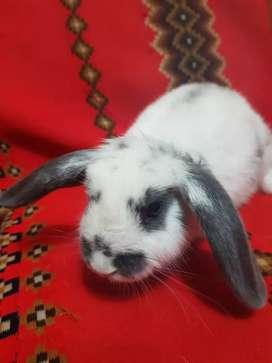 Conejos Mini Lop (Belier)